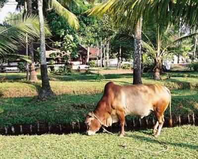 Корова породы Vechur