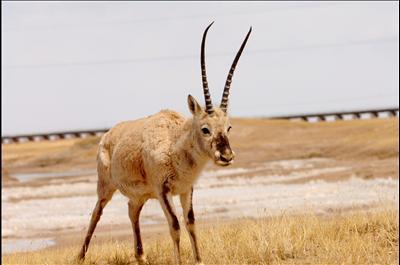 Тибетская антилопа