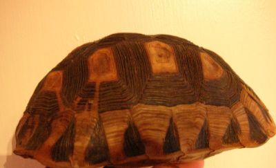 Черепаховый панцирь